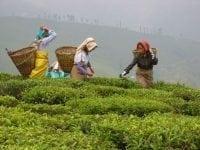Te-plukkere på Puttabong plantagen.