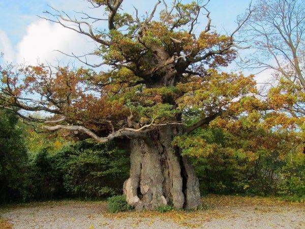 Gentoftes ældste træ?