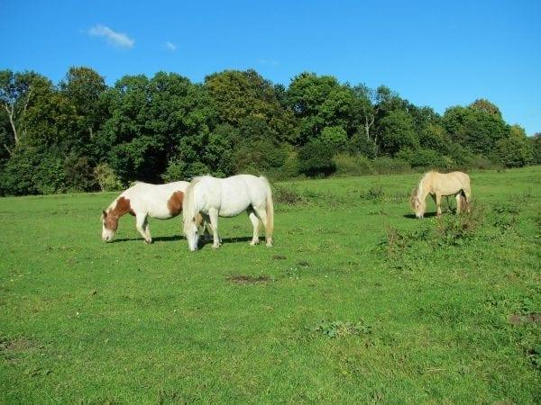 Heste i Ermelundsdalen — Ordrup Eng
