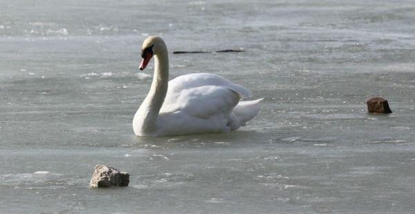 Forstyr ikke svanen på isen