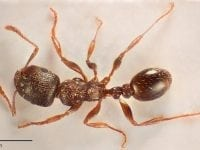 En ny myreart, foto: KU