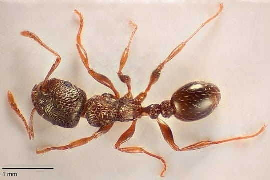 Børn finder ny potentielt invasiv myreart