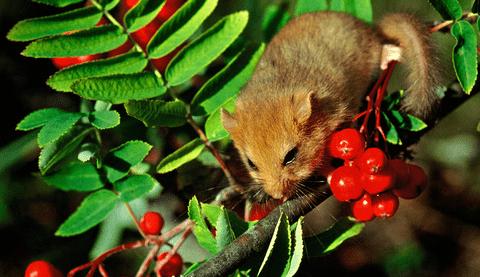 Hasselmus Foto: Naturfredningsforeningen