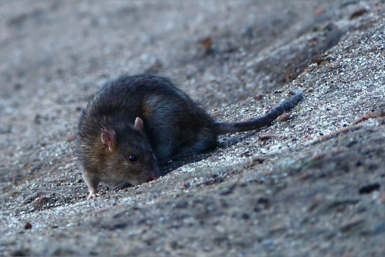 Vejret får rotterne til at søge indenfor nu