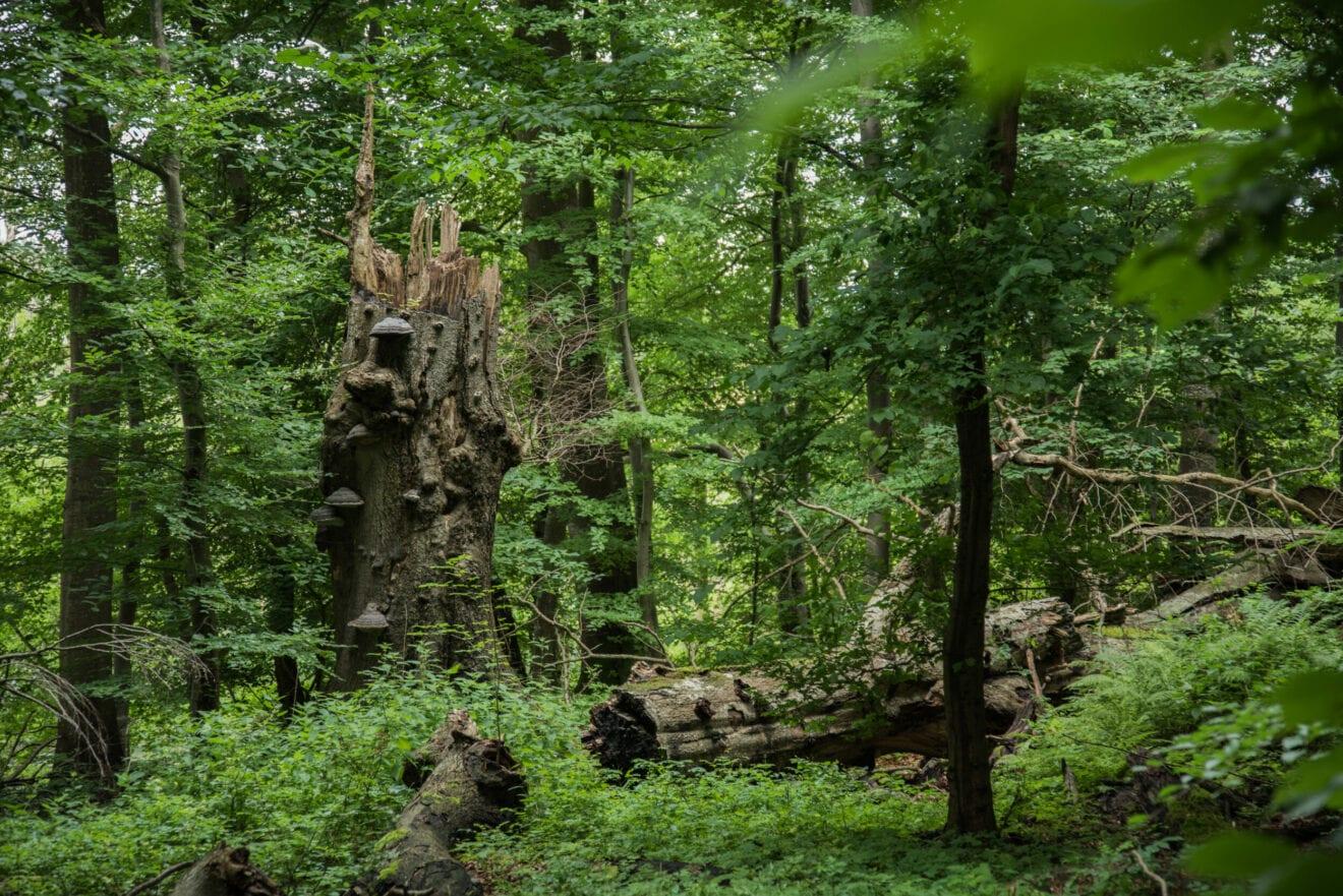 Ny dokumentation: Urørt skov er en minimal gevinst for klimaet